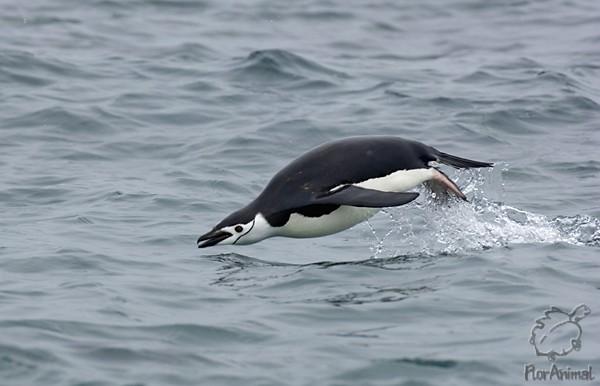 Изоб�ажения Ан�а�к�и�е�кий Пингвин tonpixru